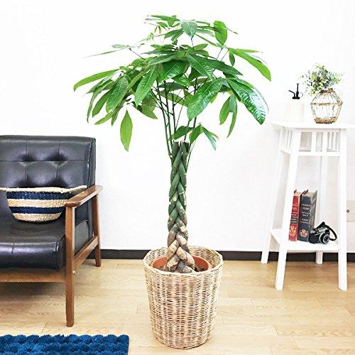 パキラ 金のなる木 観葉植物 ナチュラル鉢カバー付 インテリア 中型 大型 B019I3QFNK