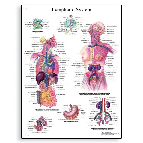 (3B Scientific VR1392L Glossy Laminated Paper Lymphatic System Anatomical Chart, Poster Size 20