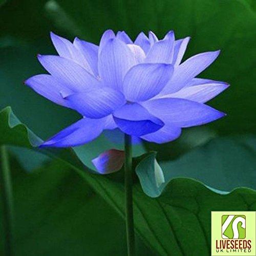 Liveseeds – Bowl lotus/water lily flower /Bonsai Lotus / 5 Fresh seeds/Sapphire Lotus