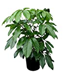 PlantVine Schefflera actinophylla 'Amate', Umbrella Tree - 10 Inch Pot (3 Gallon), Live Indoor Plant