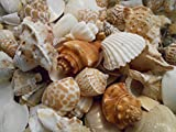 "2 lbs (Half Gallon) Indian Ocean Shell Mix Medium Size Seashells 1/2"" - 1 1/2"" Seashells Crafts Beach Decor"