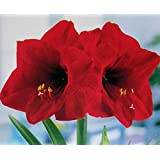 Amaryllis Holiday Gift Growing Kit. Includes: Big Red Lion Bulb, plastic pot and saucer, and Professional Growing Medium