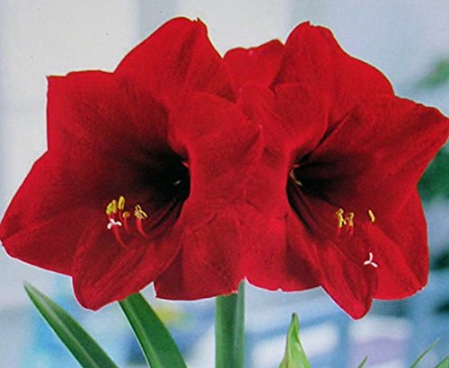 Amaryllis Holiday Gift Growing Kit. Includes: Big Red Lion Bulb, plastic pot and saucer, and Professional Growing Medium (Lion Amaryllis Red)