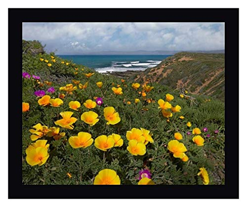 "California Poppy Field, Montano de Oro State Park, California by Tim Fitzharris - 19"" x 23"" Black Framed Giclee Canvas Art Print - Ready to Hang"
