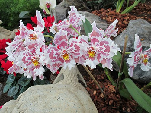 Odontoglossum from the Orchid family with over 28000 species .