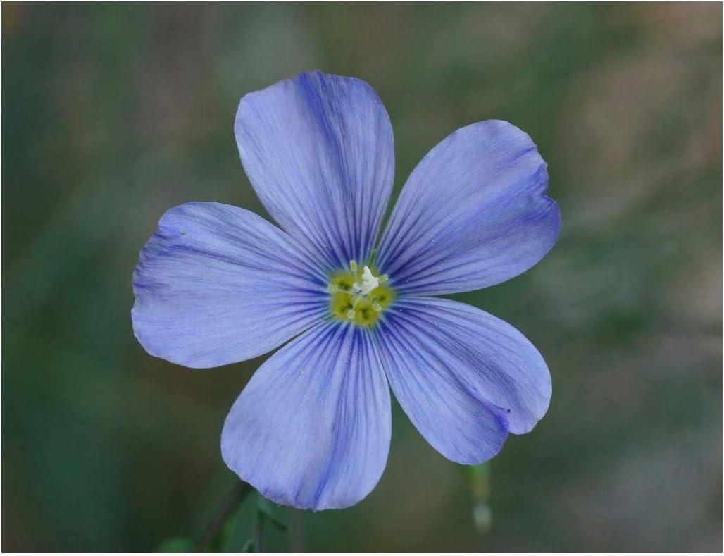 David's Garden Seeds Flower Native California Flax Blue SL8998 (Blue) 200 Non-GMO, Heirloom Seeds