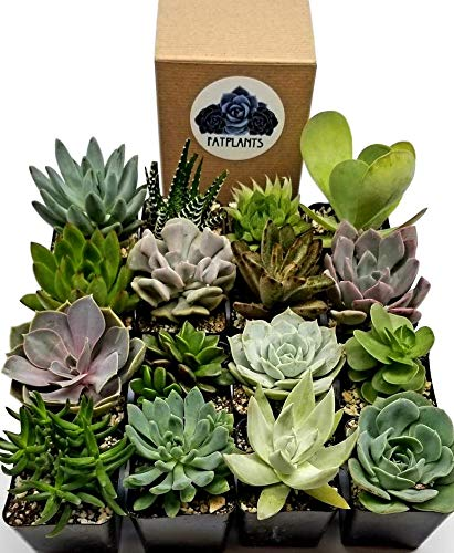 Fat Plants San Diego Premium Succulent Plant Variety Package. Live Indoor Succulents Rooted in Soil in a Plastic Growers Pot (16)