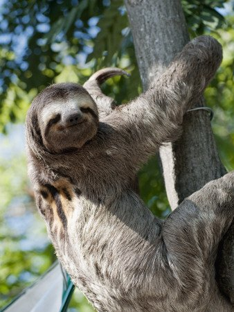 Sloth Living In Parque Centenario Photographic Poster Print By Margie Politzer, 18X24 -