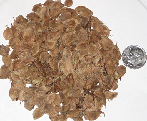 Chinese Elm Tree Seed Pack, Ulmus Parvifolia Seeds Ideal For Bonsai Trees 25