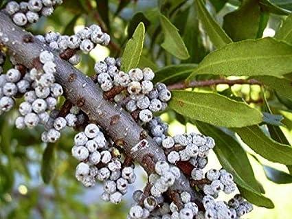 Amazon.com: Myrtle Southern Myrica Cerifera - Semillas de 50 ...