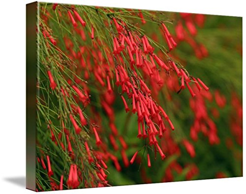 (Imagekind Wall Art Print Entitled Russelia Equisetiformis Firecracker Plant by Design Pics | 10 x 7)