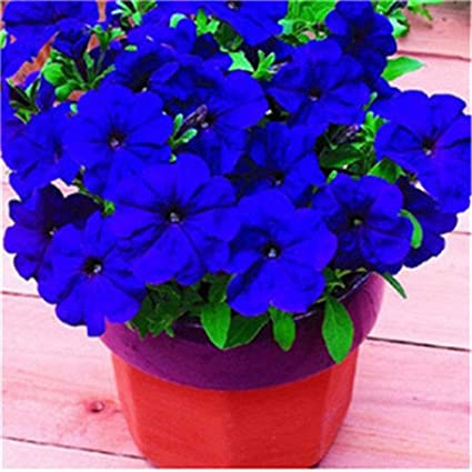 Amazon com : Purple Petunia Seeds Garden Flowers Potted