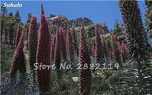 100 semillas de Echium Encanto PC Vulgare planta de flor azul perenne Bonsai aThistle interior plantas de jardín en macetas del jardín de DIY 5
