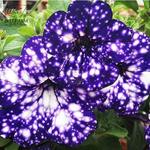 Portal Cool Cole 100 Seeds: Survival Heirloom Vegetable&Fruits Seeds Garden Non GMO/Hybrid Organic Plant Lot ()