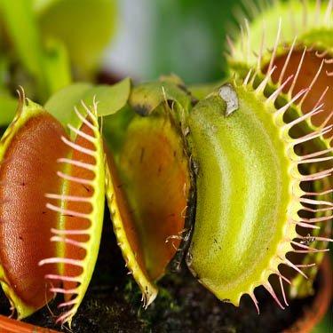Outsidepride Venus Flytrap - 25 Seeds