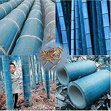 Blue Bamboo Tree (New 50 pcs/bag rare blue bamboo seeds, decorative garden, herb planter bambu tree seeds for diy home Little garden send gift)