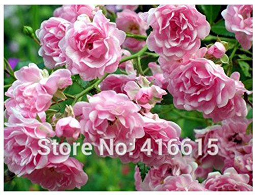 KCmart 100 Rose The Fairy Seeds Cascading Landscape Planning Easy to Grow Polyanthus Rose Seeds Bonsai Flower And Garden Plants Seeds
