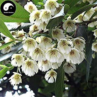 PLAT FIRM Germinazione dei semi: 30pcs: Acquistate Elaeocarpus decipiens Albero semi di piante Elaeocarpus Sylvestris Du Ying