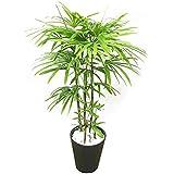 棕櫚竹 シュロチク 8号 ブラックセラアート鉢 寒さに強い 観葉植物 中型 大型 インテリア