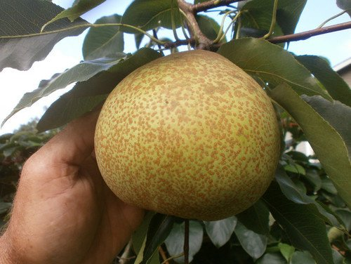 1 Starter Plant of Hardy Giant Asian Pear Tree