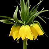 Yellow Imperial Crown Fritillaria Flower Plant Seeds to Grow Wingbind Home Indoor Garden Decor Grass Seeds Organic Flower Plant Seeds