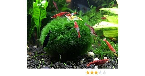 3 bolas gigantes de musgo marimo + 1 gratis– muy alta calidad – 5 cm a 6,3 cm, de 8 a 15 años de edad. - ¡Ideal para peces vivos, camarones, y caracoles!