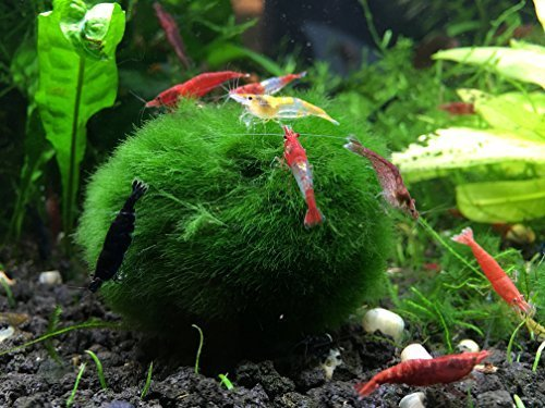 5 GIANT Marimo Moss Balls (1.5- 2.5 inches, 8-15 years old!) - OVER 5x AS LARGE AS NANO MARIMO! - Great for fish, shrimp, and snails! by Aquatic Arts by Aquatic Arts (formerly InvertObsessionTM)
