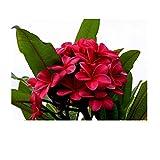 GROW HAWAII-4 HAWAIIAN RED PLUMERIA PLANT CUTTINGS