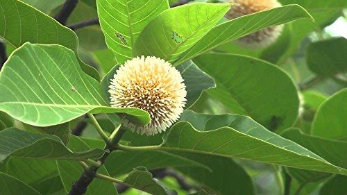 200 Anthocephalus kadamba Seeds , Neolamarckia cadamba, for sale  Delivered anywhere in USA