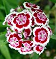 Green Leaf ® 5000Seeds Sweet William (Dianthus barbatus) Seeds by Earth Home