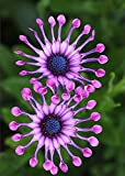 100 pcs Osteospermum Seeds Potted Flowering Plants Blue Daisy Flower Seeds