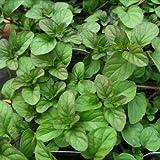 SS0144 Orange Mint Live Plant Indoor Outdoor Garden Houseplant Home Yard Best Gift NEW