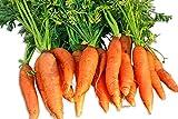 Little Finger Carrot 200 Seeds #8135 Item Upc#650348691714