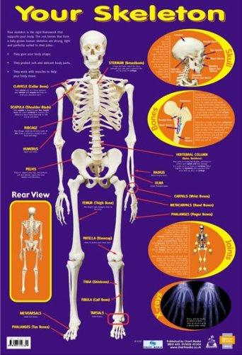 Amazon com: Laminated Your Skeleton 206 Bones In The Body