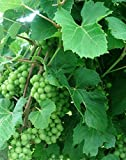 Fredonia Grape Vines - Black Grapes-2 yr Old Healthy Bare Root Plants-3 pack