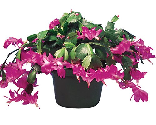 1 Starter Plant of Small Christmas Cactus in 4'' Pot