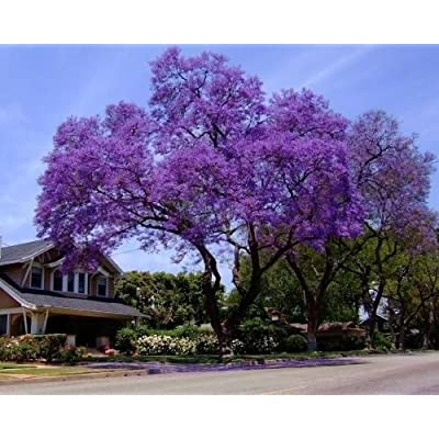 25+ Royal Empress Tree Seeds/ Flower Seeds Fast Growing Grows Anywhere/Perennial : Garden & Outdoor