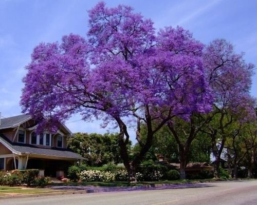 25-royal-empress-tree-seeds-flower-seeds-fast-growing-grows-anywhere-perennial