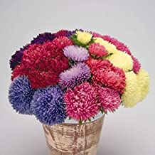 Powder Puff Aster - Excellent cut flowers for bouquets! Mum-like double flowers!(50 - Seeds)
