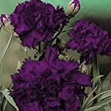 Carnation- King of Blacks- 50 Seeds