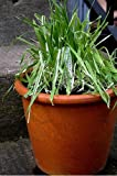 Green & White/Variegated Cat Grass Seeds - 9 grams