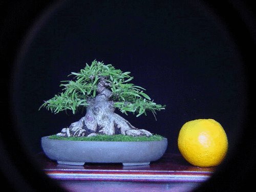 Willow leaf fig for bonsai, sent with pot and soil, live plant 8-12 inches tall