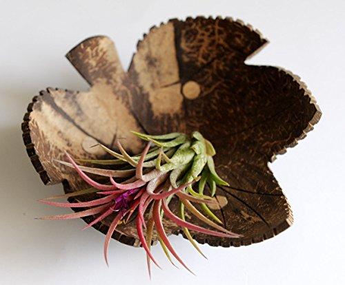 Exotic Elegance Maple Leaf Form Decorative Coconut Wood Dish.