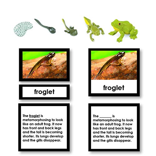 Frog Life Cycle 3-Part Cards with Objects ()