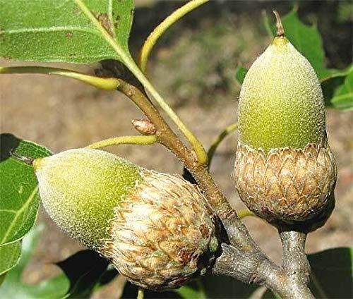 12 California Black Oak Acorns - Quercus kelloggii for sale  Delivered anywhere in USA