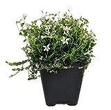 "Alpine White Star Creeper - Isotoma - 2.5"" Pot - Fairy Garden/Outdoors"