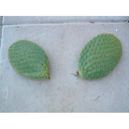 Hot Bunny Ears Cactus: Opuntia Rufida Monstrosa; 2 Pads free shipping