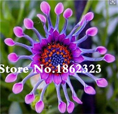 Kasuki New Year Gift! 100 Pcs African Blue Eyed Daisy Flower Bonsai Osteospermum Flower Bonsai Balcony Flower for Home Planting - (Color: 2)