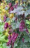 10 Red Wine Monkshood Seeds, Aconitum hemsleyanum, Helmet Flower,Wolfbane - RARE