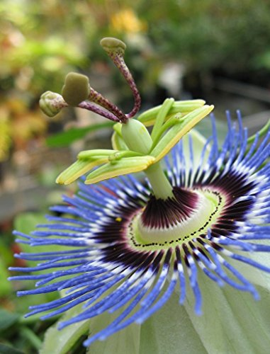 100 Passion Flower Blue Seeds - Passiflora Caerulea